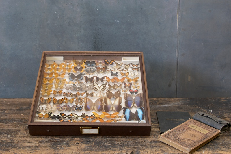 vintage preserved butterfly taxidermy   factory 20